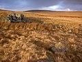 Golden Moorland on the Black Mountain - geograph.org.uk - 1126286.jpg