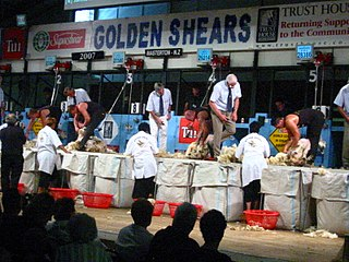 Golden Shears sheep shearing event
