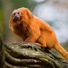 A small orange monkey