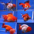 Goldfish breeds.jpg