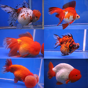 Six different breeds of goldfish shown in the ...