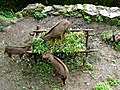 Gorals at Padmaja Naidu Himalayan Zoological Park.jpg