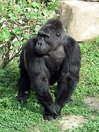 Смотреть порно онлайн самец гориллы трахает девушку