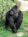 Gorilla gorilla 04.JPG