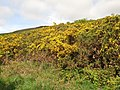 Gorse on the foothills of Lanton Hill - geograph.org.uk - 411144.jpg