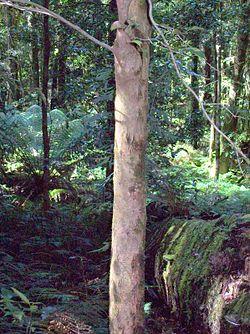 Gossia acmenoides Burraga Swamp.jpg