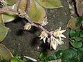 Graptopetalum paraguayense (N.E.Br.) Walth. (AM AK235542-3).jpg