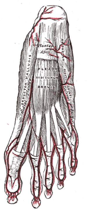 Abductor digiti minimi muscle of foot - Superficial view of the plantar arteries (abductor digiti minimi visible at center right).