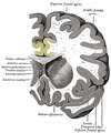 Gray743 cingulate gyrus.png