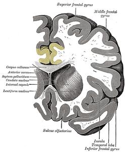 wiki Anterior cingulate cortex