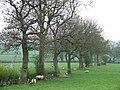 Grazing near Compton Hall Farm, Staffordshire - geograph.org.uk - 402089.jpg