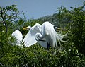 Great Egrets on nest. Ardea alba (37932143876).jpg