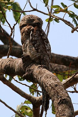 Great potoo (Nyctibius grandis).JPG