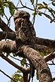 Great potoo (Nyctibius grandis).JPG