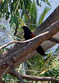 Greater Coucal (Centropus sinensis) at Madhurawada.jpg