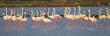 Greater Flamingos - Sardinia - Italy S4E0488 (15419841602).jpg