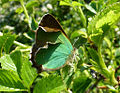 Green Hairstreak Ryton. (7348920972).jpg