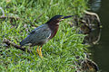 Green Heron - Zamora Estate - Costa Rica MG 5522 (26707516505).jpg