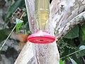 Green Violetear Hummingbirds - Inkaterra Machu Picchu Pueblo Hotel and Nature Reserve - Aguas Calientes, Peru (4875683937).jpg