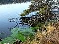 Green algae, Loch Migdale. - geograph.org.uk - 1572843.jpg