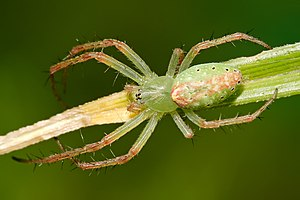 Green tent spider