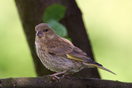Greenfinch Lodz(Poland)(js)04.jpg