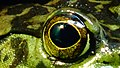 Grenouille taurau - Lithobates catesbeianus - Zoologique Paris 01.JPG