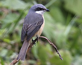 Grey-backed Shrike (Lanius tephronotus) - Flickr - Lip Kee.jpg