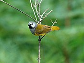 Grey-headed Oliveback, Poli, Cameroon (5891711500).jpg
