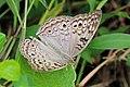 Grey pansy (Junonia atlites atlites).jpg