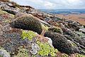 Grimmia montana.jpg