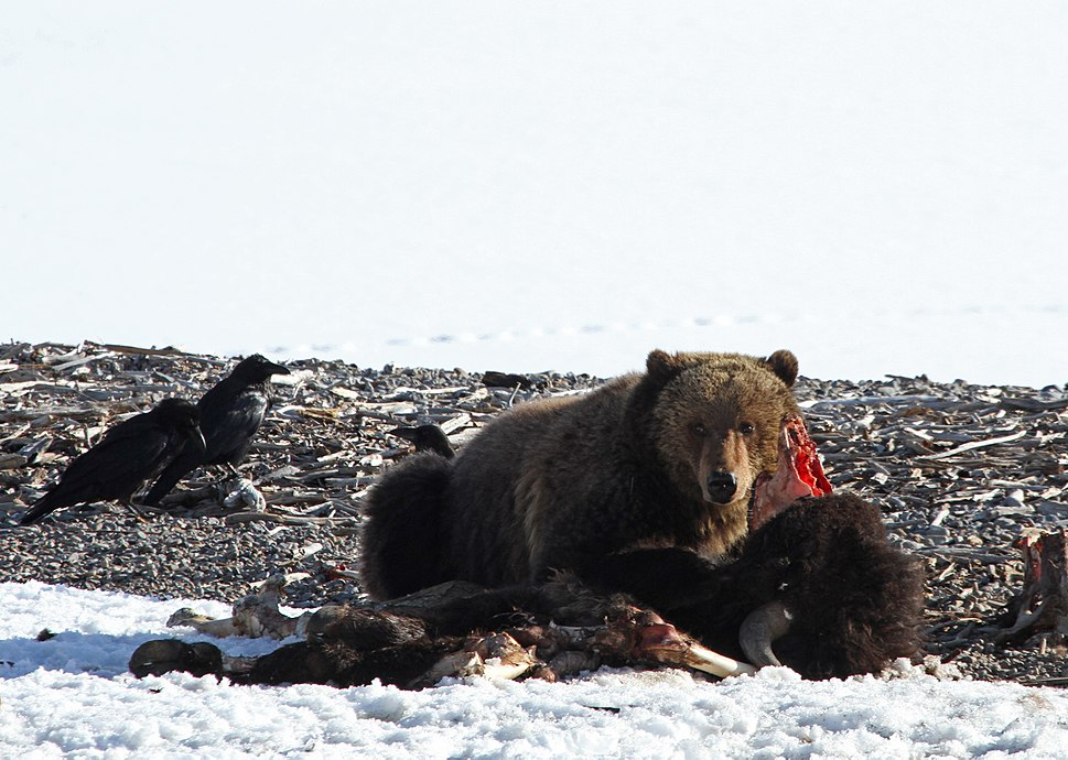 Grizzly bear on bison carcass (8703043728)