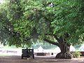 Großer Baum im Hof des Cardiff Castle.JPG