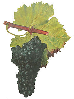 Grolleau (grape) varietal
