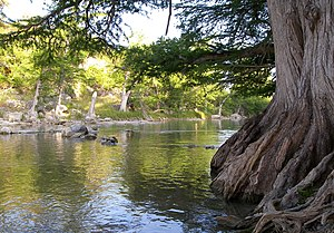 Guadalupe River State Park - A cypress tree on the banks of the Guadalupe River.