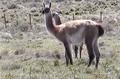 Guanacos en isla Gde. de T.del Fuego (sector de Chile) (5).PNG
