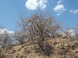 Commiphora wightii - Image: Guggul at natural habitat