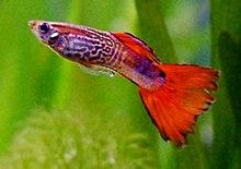 Ikan guppy, salah satu ikan akuarium terpopuler di dunia