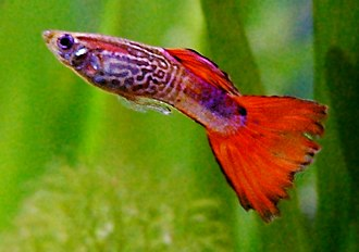 Live-bearing aquarium fish - Image: Guppy male