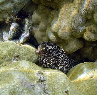 Eel - Image: Gymnothorax meleagris Hawaii