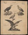 Gypaëtus barbatus - 1700-1880 - Print - Iconographia Zoologica - Special Collections University of Amsterdam - UBA01 IZ18100089.tif