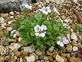 Gypsophila cerastioides1.jpg