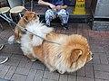 HK 西營盤 Sai Ying Pun 正街 Centre Street 第一街 First Street 龐物犬 pet dogs 鬆獅犬 Chow Chow 獅子狗 November 2018 SSG 01.jpg