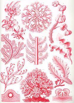 Haeckel Florideae.jpg