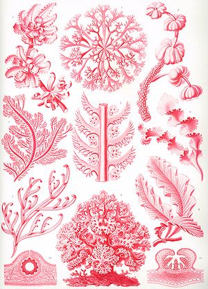 "Florideae - ""Florideae"" from Ernst Haeckel's Kunstformen der Natur, 1904"