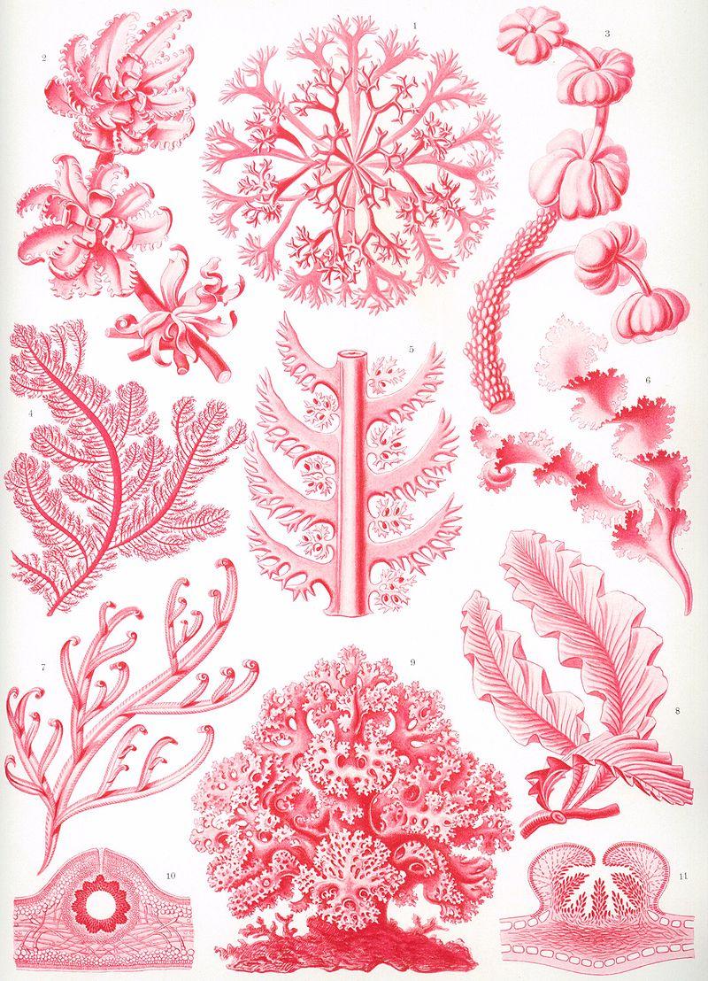 https://upload.wikimedia.org/wikipedia/commons/thumb/7/73/Haeckel_Florideae.jpg/800px-Haeckel_Florideae.jpg