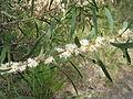 Hakea dactyloides 2.jpg