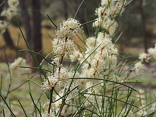 <i>Hakea microcarpa</i> Species of plant in the family Proteaceae endemic to eastern Australia