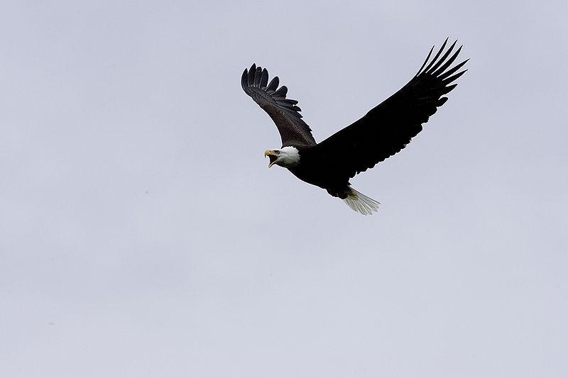File:Haliaeetus leucocephalus-flight-USFWS.jpg
