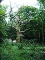 Hallands Väderö-dött träd.JPG